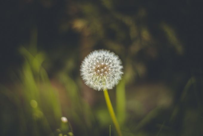 dandelion by christianhohnen - Show Minimalism Photo Contest