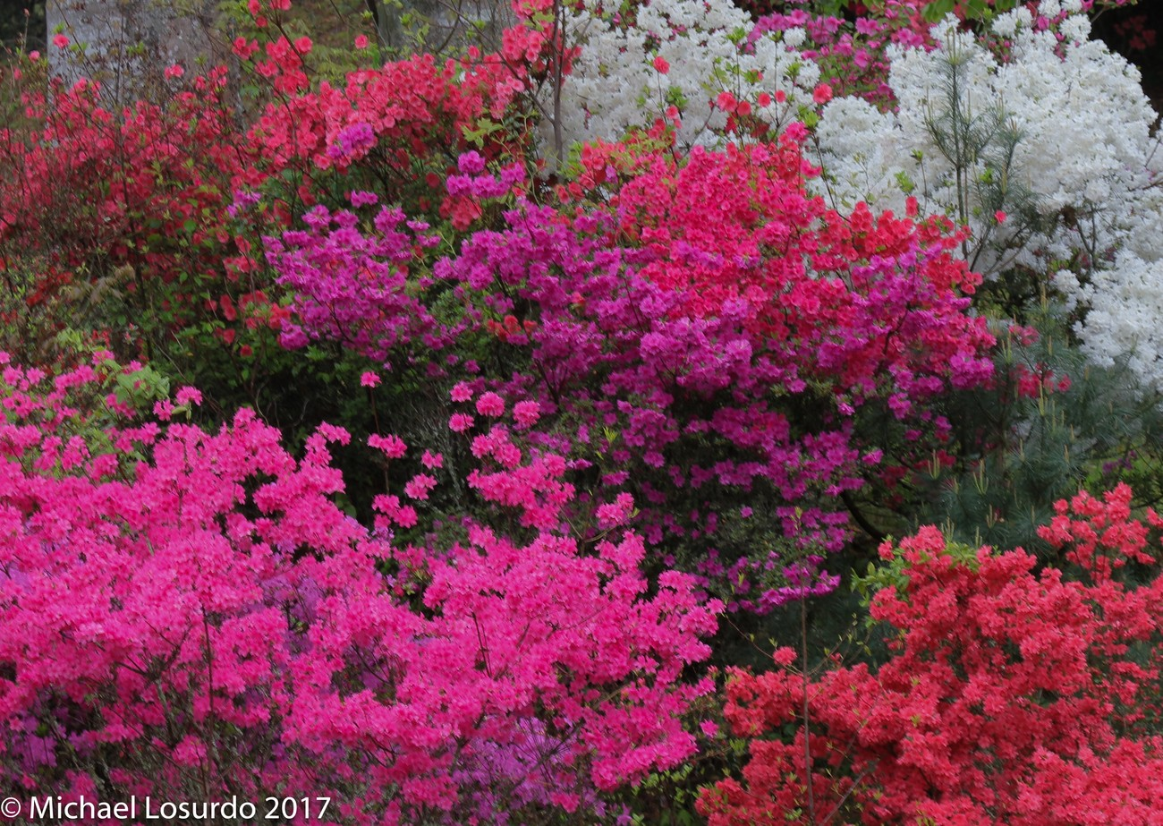 Azaleas all different colors grow in bunches Boone NC
