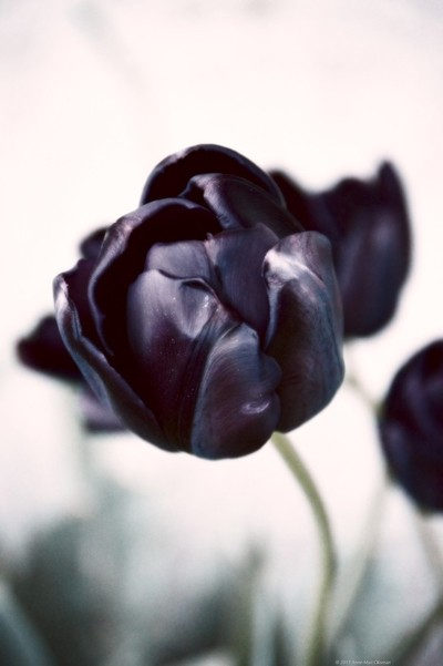Black tulip in soft tones