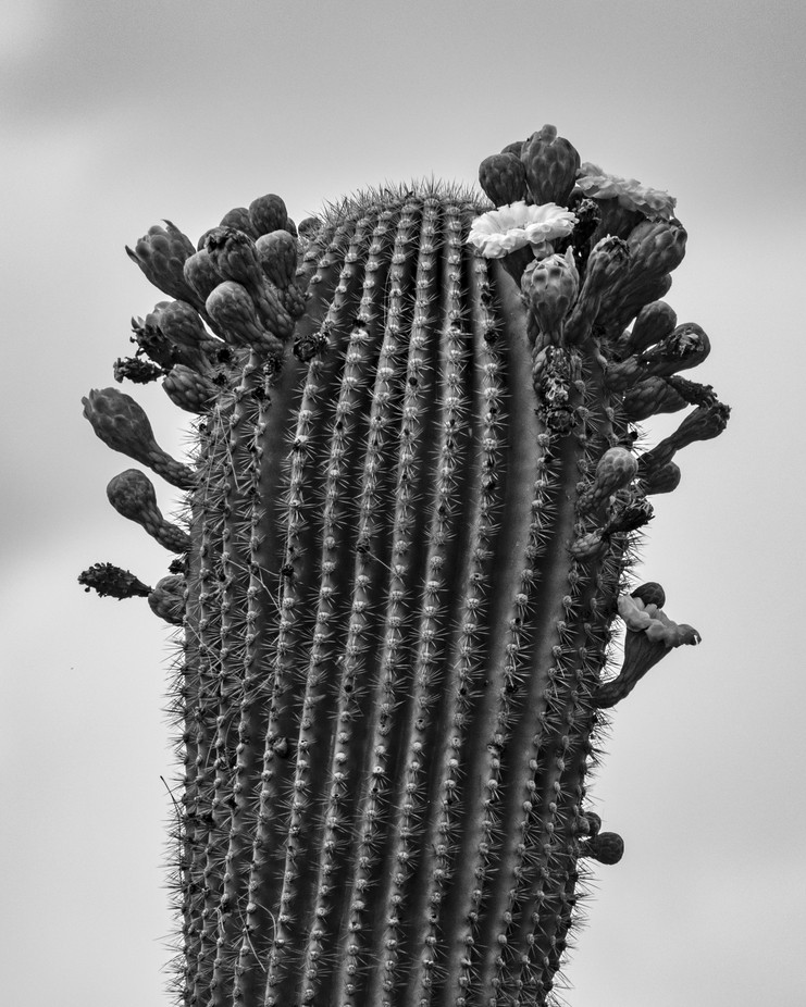 Saguaro blossoms flourish in the desert spring time.