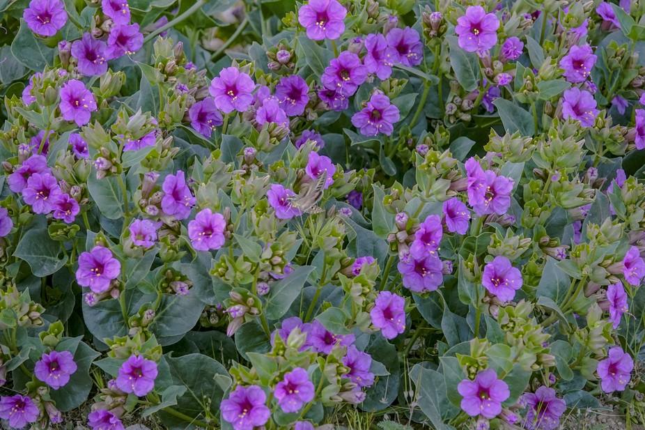A desert moth hides in the desert spring bloom of purple trumpets