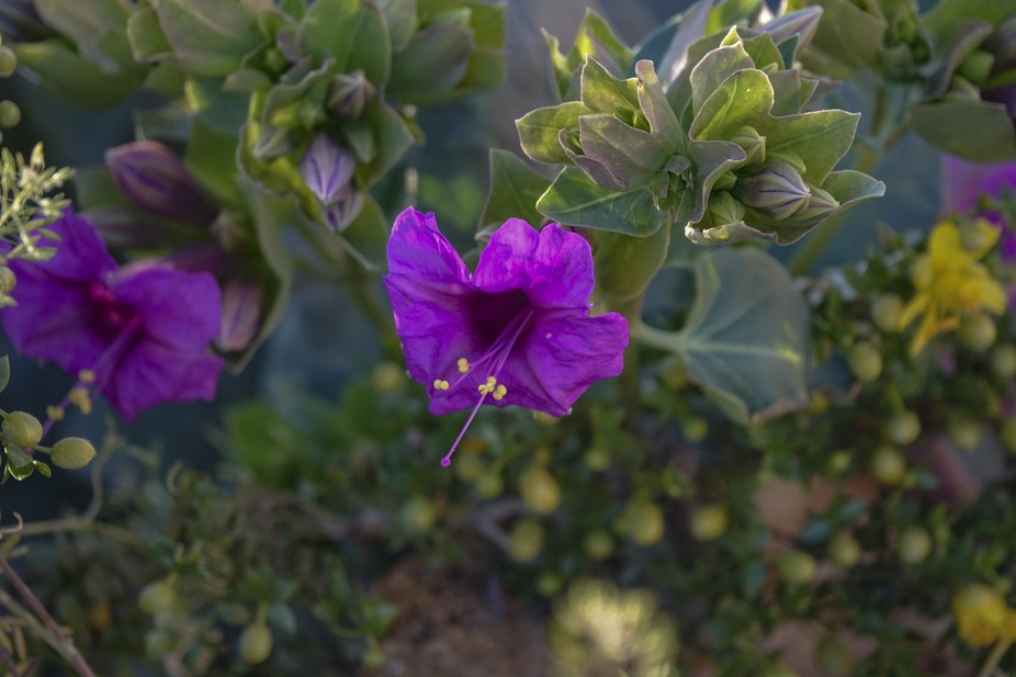 A purple trumpet flower at sunset shows its deep color