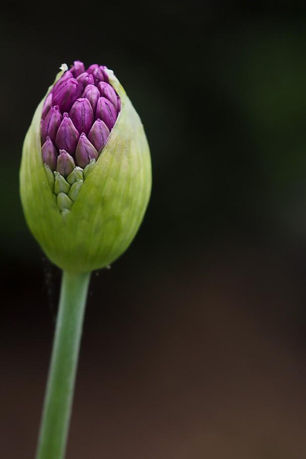 Allium 2 by Judy_zehentner - Shades Of Purple Project