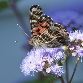 This is an American Beauty Butterfly. I love the eyes on the under wing!