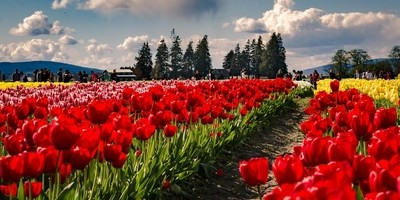 Red tulips clouds