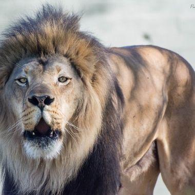 Territorial roar of an African Lion