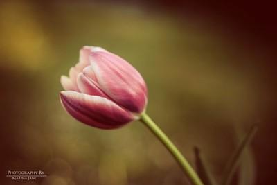 Beau...tulip