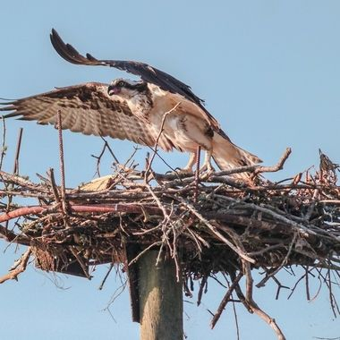 Osprey protecting his nest.