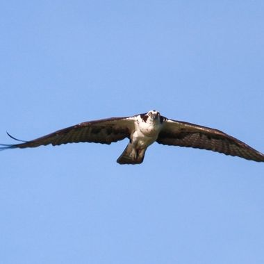 Caught this Osprey hovering over our boat on the river.