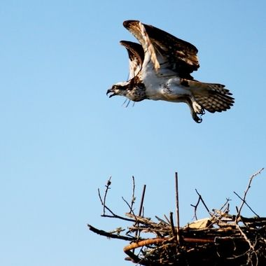 Shooting a particular Osprey wildlife nest on the Hiwassee River.