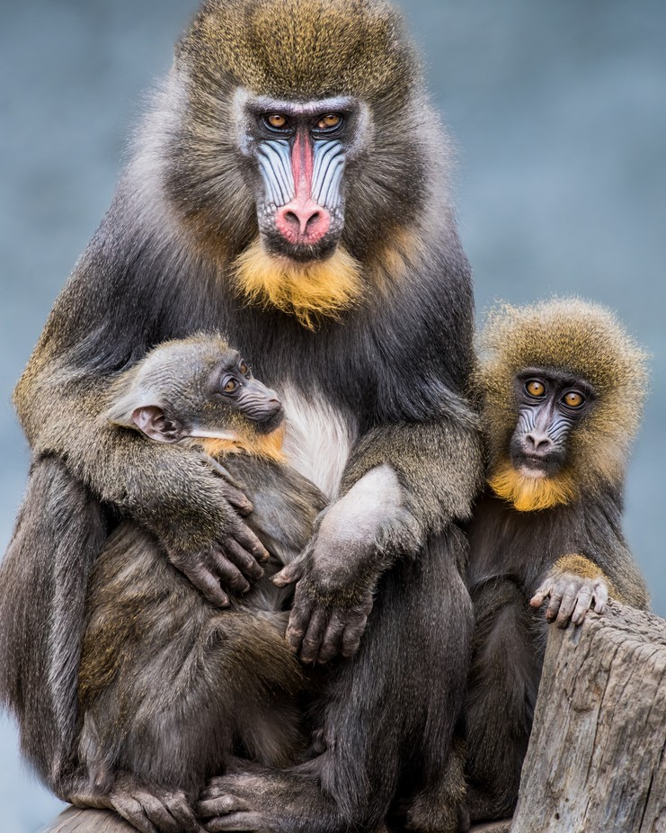 Mandrill Family II by elusivecaptures - Monkeys And Apes Photo Contest