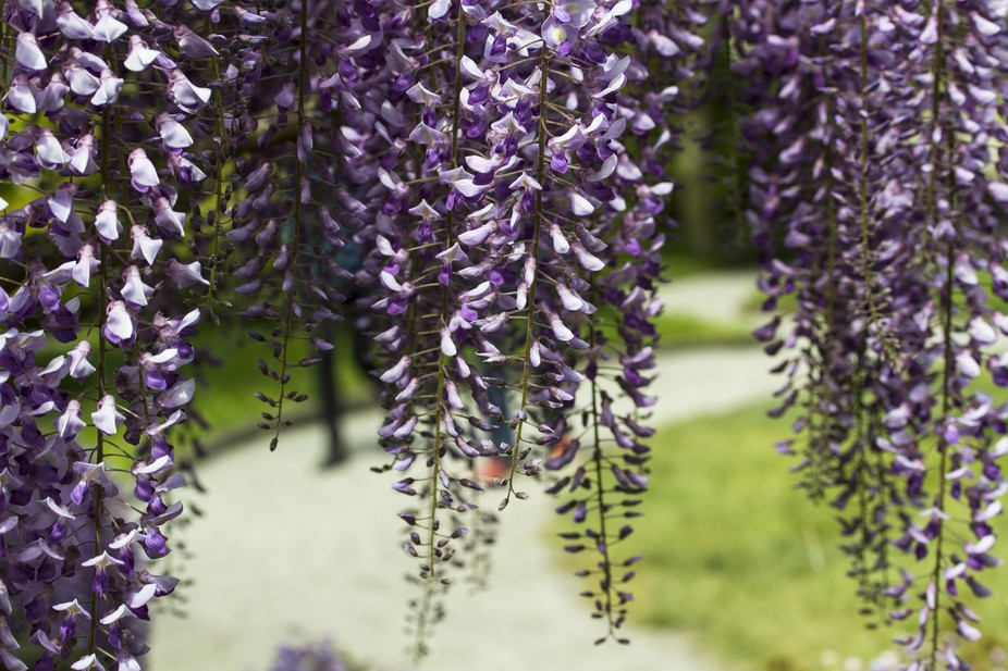 Stroll in a purple garden