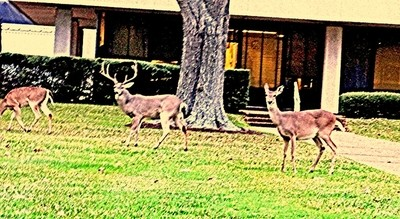 WILD MULE DEER ROAMING FREELY AT THE JOHNSON SPACE CENTER IN HOUSTON, TEXAS * December, 2015