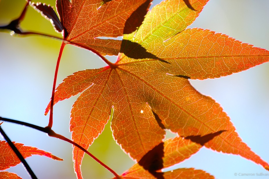 Autumn leaves illuminated by the afternoon sun.
