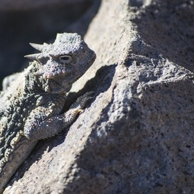 The same horny toad (Phrynosoma platyrhinos) that had all the red spots in my other photo did a nice job of relocating onto a piece of granite an...