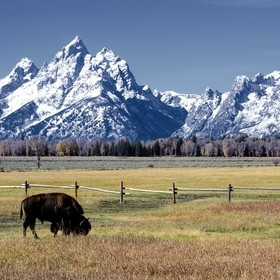 A lone American bison (Bison bison) grazing in the Grand Tetons area last fall.