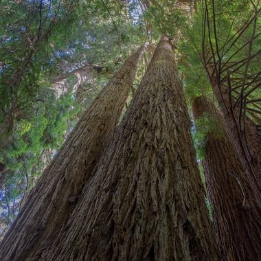 For me the Redwoods have always been a special place of peace and tranquility. They hold a very special place in my mind and heart.