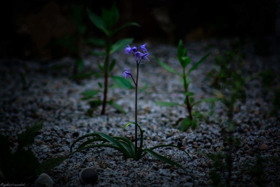 This is a very strong and positive flover making his way out between the stones looking for sun.