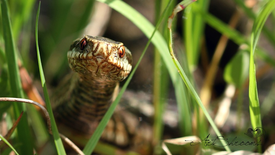 I was kneeling down looking for slow worms when i hear a huffing and hissing right in my ear, kno...