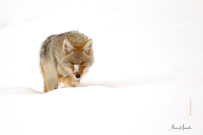 COYOTE ROAMING IN THE SNOW by alainmauviel - Rule Of Thirds Photo Contest v4