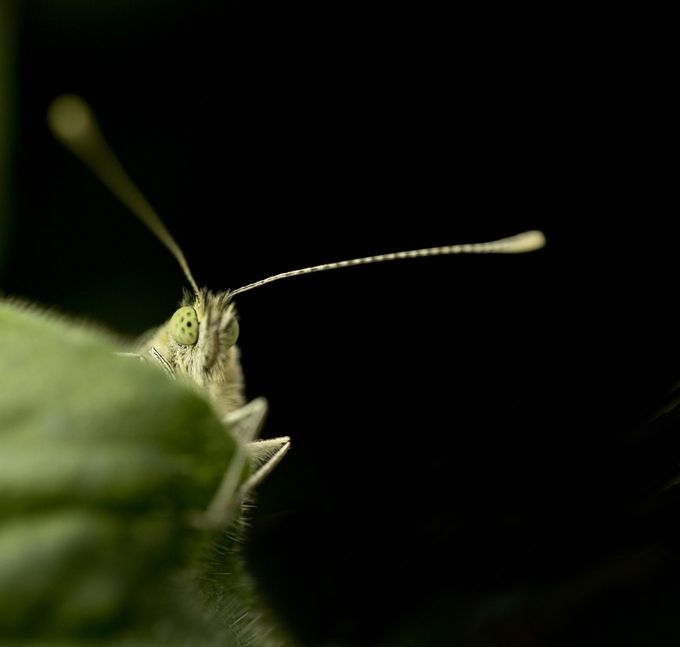 Cabbage White Butterfly by PWMMacro - Macro Games Photo Contest