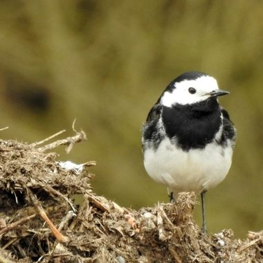 a Watery Wagtail