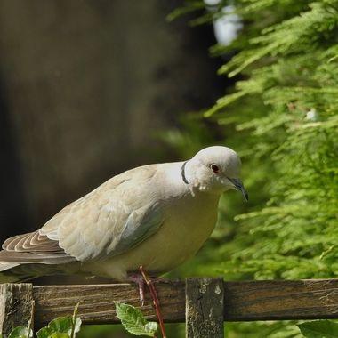 A Bonnie wee Dove