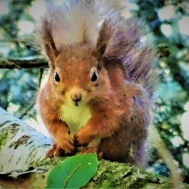 So lucky to catch a glimpse of this adorable red squirrel on my forest walk :)