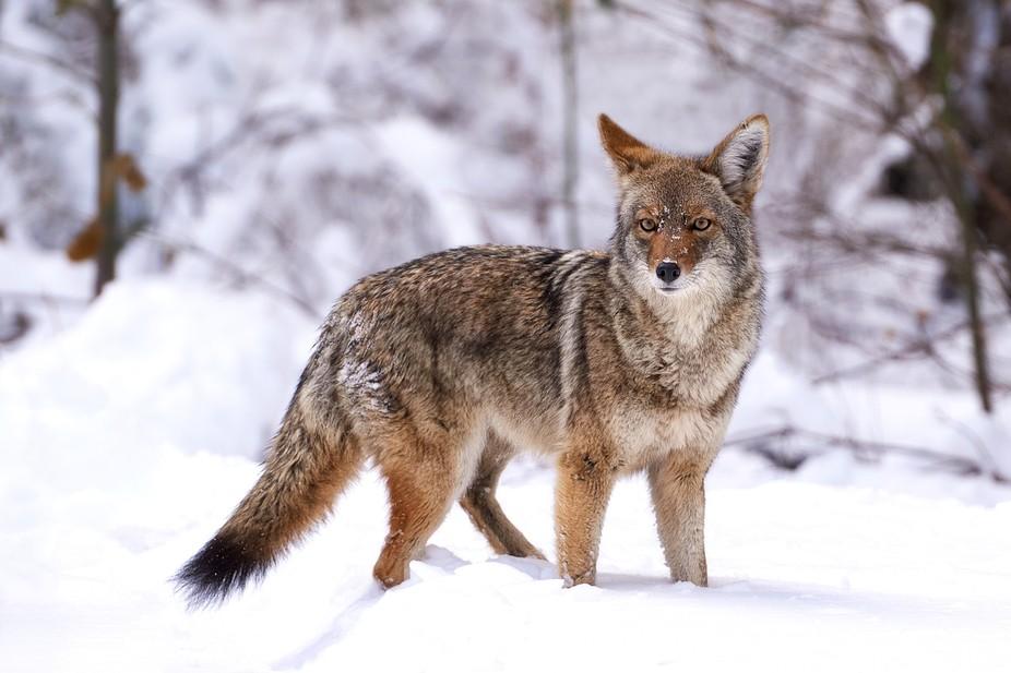 Coyote's tooling around Yosemite Falls Park on Christmas Morning, 2015.