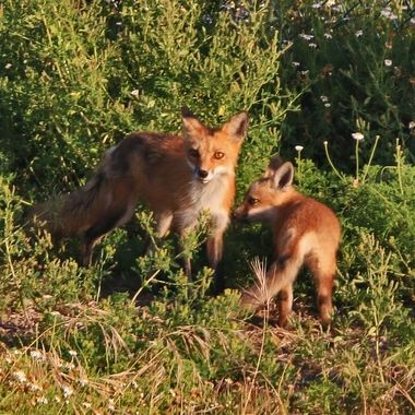 Red fox and a pup with an attitude IMG_0047