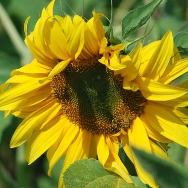 Bright yellow sunflower in full sun with busy bee.