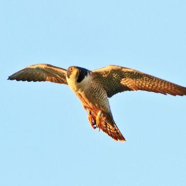 Peregrine falcon hunting around sunset IMG_0103