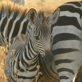 Common or Burchell's Zebra with Calf at the Nairobi National Park