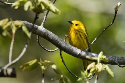 Yellow_Warbler_1