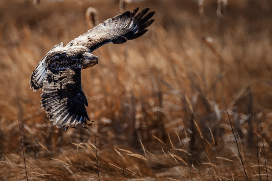 This hawk had just woofed down a small rodent in the Monte Vista National Wildlife Refuge. He the...