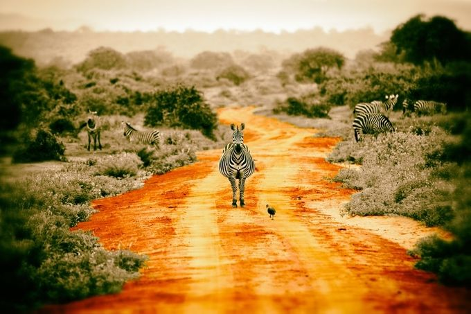 red carpet pregnant zebra by ac_photo - Image Of The Month Photo Contest Vol 22