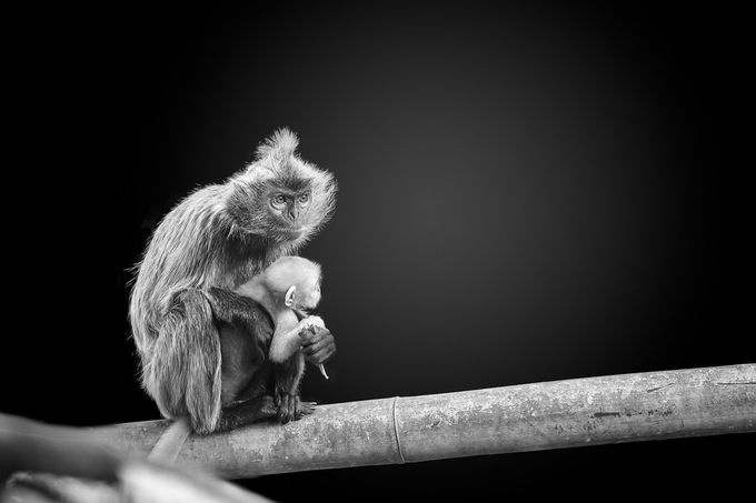 Motherhood by ivannicolau - Monkeys And Apes Photo Contest