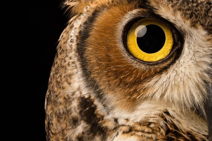 Great Horned Owl - Bubo virginianus by garrettterry - Beautiful Owls Photo Contest