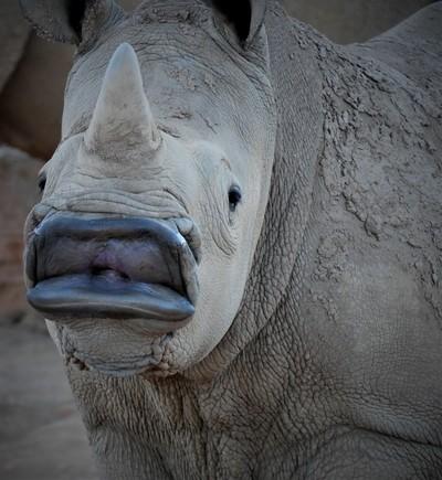 Baby Rhino showing his lips