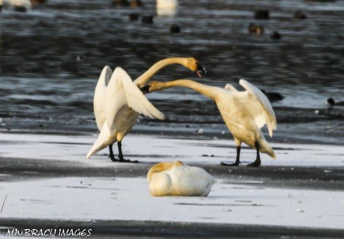 Swan play