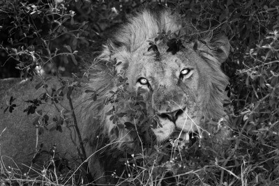 This Lion Is Watching You And Is Hungry