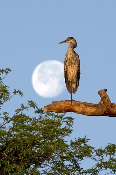 HERON AND THE MOON RISE