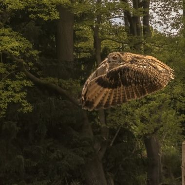 Intense gaze and concentration as this bird of prey strikes the air for flight