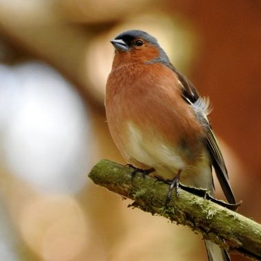 Mr Chaffinch pozing for His portrait....