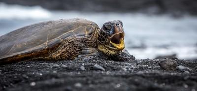 Turtle Beak