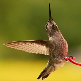 a young rufous hummingbird seems to be expressing joy before taking off.  I love this photo because of the light shining through the wings.  I hi...