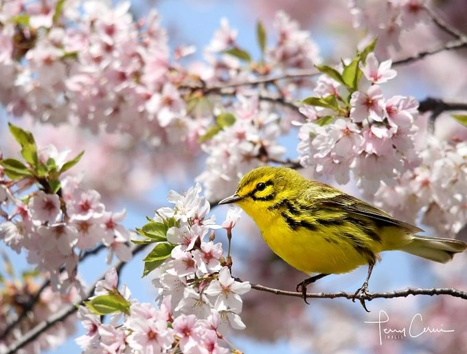 Prairie Warbler by terryc - Monthly Pro Vol 33 Photo Contest