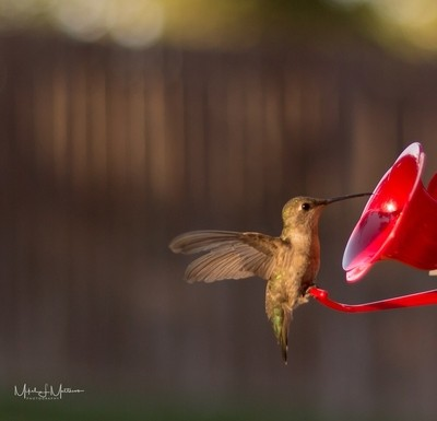 Another try at getting a sharp hummingbird photo.