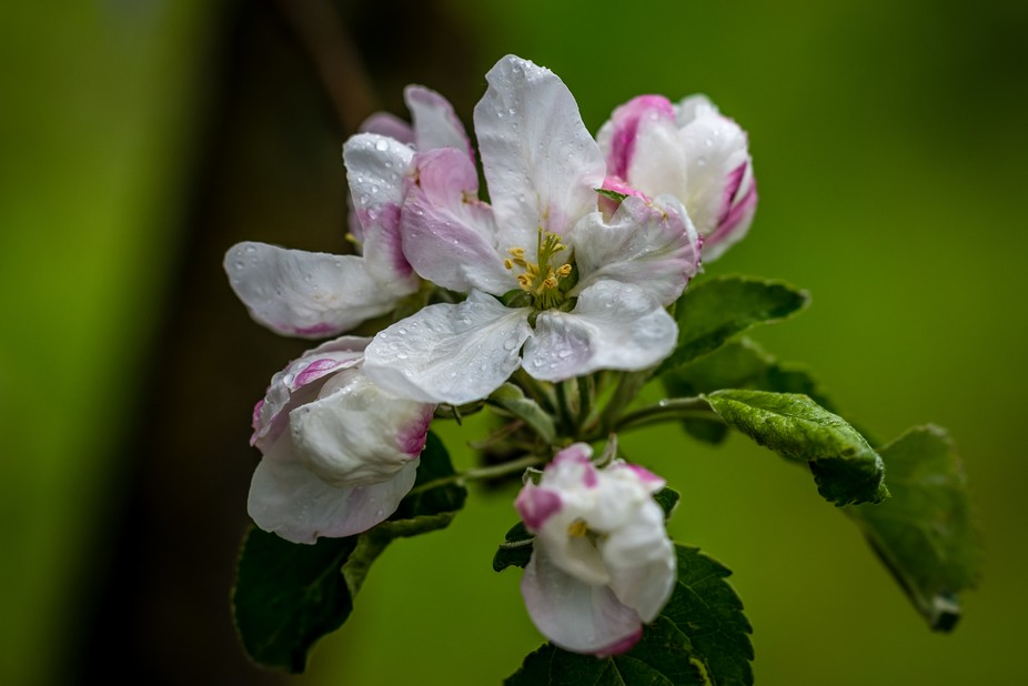 Apple blossoms from my back yard....... shot in the middle of a rain storm.
