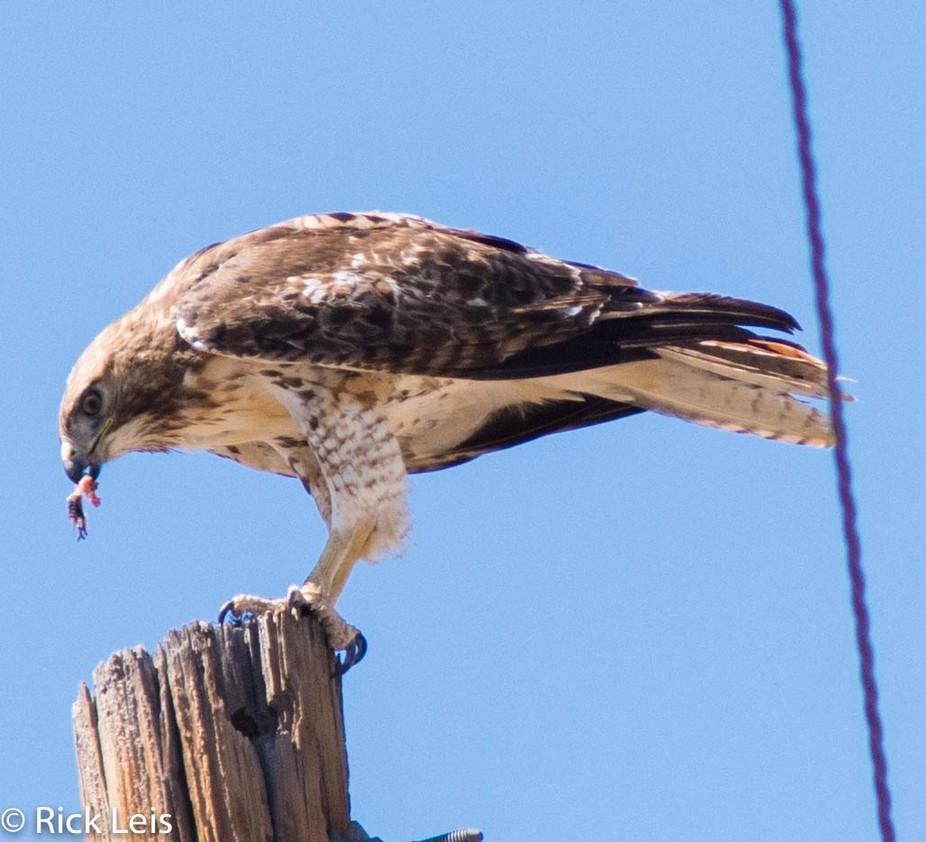 Red  tail hawk having dinner Lens:70-300mm
